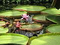 Victoria amazonica, 2015-08-08, Phipps Conservatory, 05.jpg