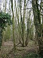 View into Long Plantation from footpath - geograph.org.uk - 671448.jpg