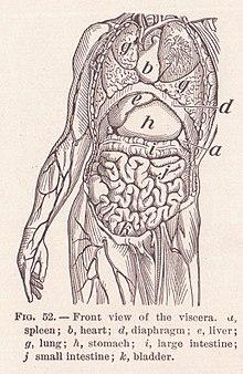 Organ anatomy wikipedia human viscera ccuart Choice Image
