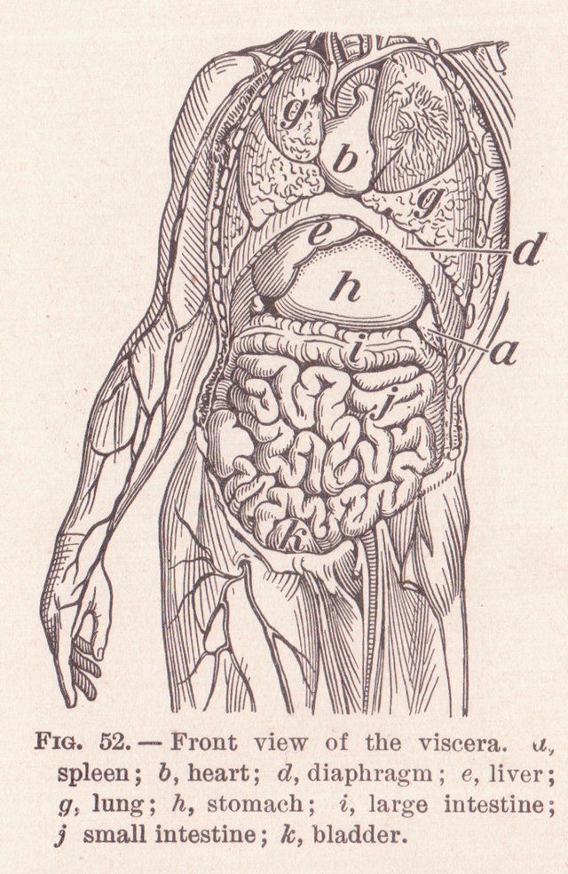 Anatomical terms of location - Wikiwand