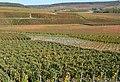 Vignoble-de-Champagne-pres-de-Fleury-la-Riviere-dans-la-montagne-de-Reims-DSC 0201.jpg