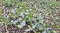 Vinca flower and leaves.jpg