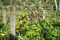 Vine, vineyard, Riesling, Germany, organic agriculture.jpg