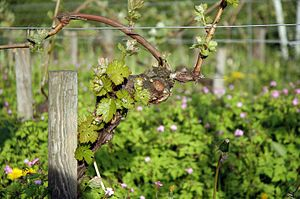 English: Riesling vine in organic agriculture,...