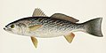 Vintage illustrations by Denton from Game Birds and Fishes of North America digitally enhanced by rawpixel 20.jpg