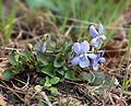 Viola riviniana LC0032.jpg