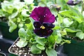 Viola tricolor Colossus Purple With Blotch 0zz.jpg