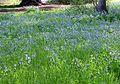 Virginia Bluebells (Mertensia virginica) - Flickr - Jay Sturner.jpg