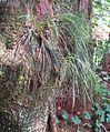 Vittaria lineata (19978847795).jpg
