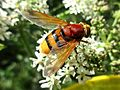 Volucella zonaria (Hoverfly sp.) female, Arnhem, the Netherlands.jpg