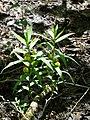 Vrbenské rybníky, Lysimachia thyrsiflora (01).jpg