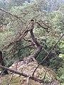 Vrcovské lesy, borovice na skále.jpg