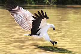 WB Sea Eagle Pounce.jpg