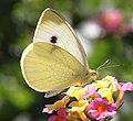 WHITE, CABBAGE (Pieris rapae) (10-2-11) patagonia butterfly garden, scc, az (9423595844).jpg