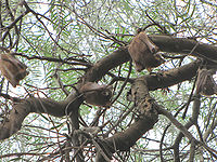 Wahlberg's Epauletted Fruit Bats, sleeping.jpg