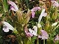 Wald-Läusekrau (Pedicularis sylvatica)@20180604 09.jpg