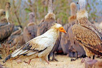 Walk of Egyptian Vulture.jpg