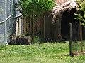 Wallabies au jardin zoologique du quebec - 2005-07.jpg
