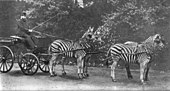 Walter Rothschild with a carriage drawn by four zebra