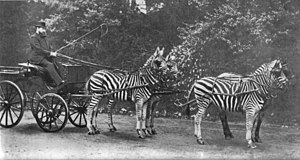 Walter Rothschild, 2nd Baron Rothschild - Rothschild with his famed zebra (Equus quagga) carriage, which he drove to Buckingham Palace to demonstrate the tame character of zebras to the public