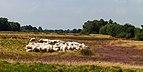 Wandeltocht door bloeiende heidevelden en zandverstuivingen van de Schaopedobbe (Schapenpoel) 06.jpg