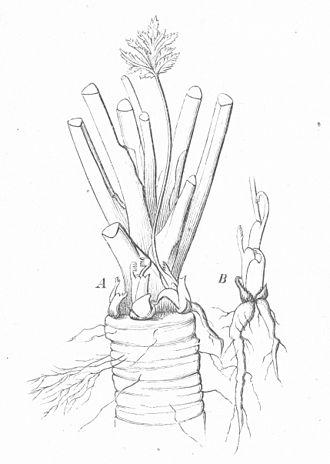 Anthriscus sylvestris - Image: Warming Skudbygning Fig 5 Anthriscus sylvestris