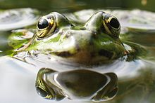Close up of a frogs head, its eyes and nose sticking up over the surface of the water.