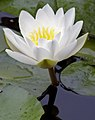 Water Lily 2 (4844003134).jpg