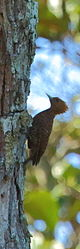 Waved woodpecker (Celeus undatus) (16257145084).jpg