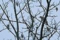Waxwings visit Elgin - geograph.org.uk - 1150911.jpg