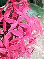 Wayanadan-random-flowers IMG 20180524 094855 HDR (41654307574).jpg