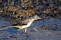 Western Yellow Wagtail (Motacilla flava). മഞ്ഞവാലുകുലുക്കി. (32552362720).jpg