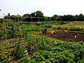 Weston allotments.jpg