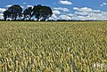 Wheat field 02.jpg