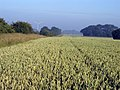 Wheatfield north west of Hedon - geograph.org.uk - 1384195.jpg