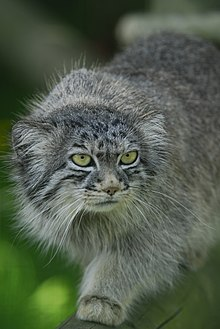Pallass cat wikipedia female manul note the pinhole shape of its contracted pupil the pallass cat publicscrutiny Images