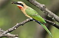 White-fronted Bee-eater, Merops bullockoides, at Rietvlei Nature Reserve, Gauteng, South Africa (16048909841).jpg