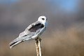 White-tailed Kite (juvenile) (40275257821).jpg