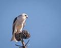 White-tailed Kite eating mouse (27612607349).jpg