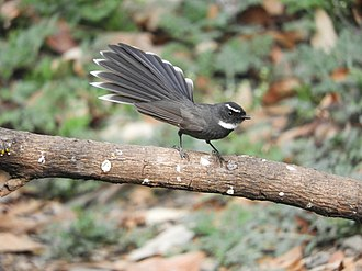White-throated fantail - Image: White throated fantail scientific name Rhipidura albicollis at Sattal DSCN0829 1