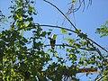 White-throated ground dove on tree.jpg