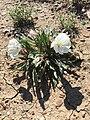 White Flowers in Dirt.jpg