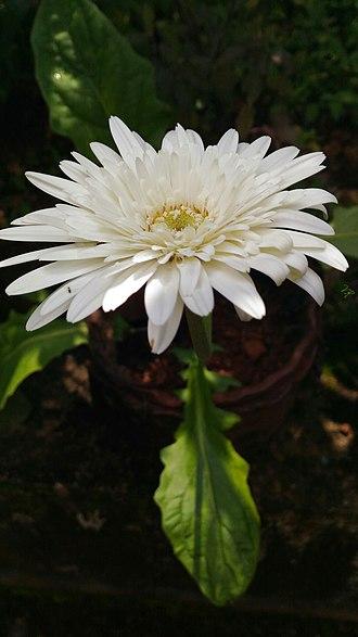 Gerbera - Image: White Gerbera 03