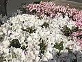 White flowers of Azalea 20190421.jpg