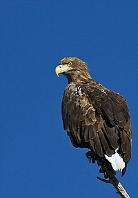 White tailed eagle.jpg