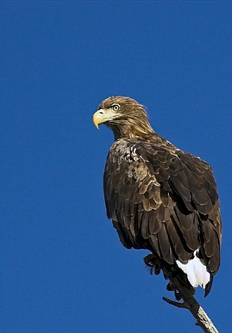 White-tailed eagle - The white-tailed eagle is the largest eagle found in Europe and most of its Asian range.