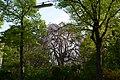 Wiener Naturdenkmal 729 - Hängebuche(Währing) a.JPG