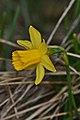 Wild Daffodil (Narcissus pseudonarcissus) - Guelph, Ontario 01.jpg