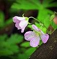 Wild Geraniums (2) (8729679827).jpg