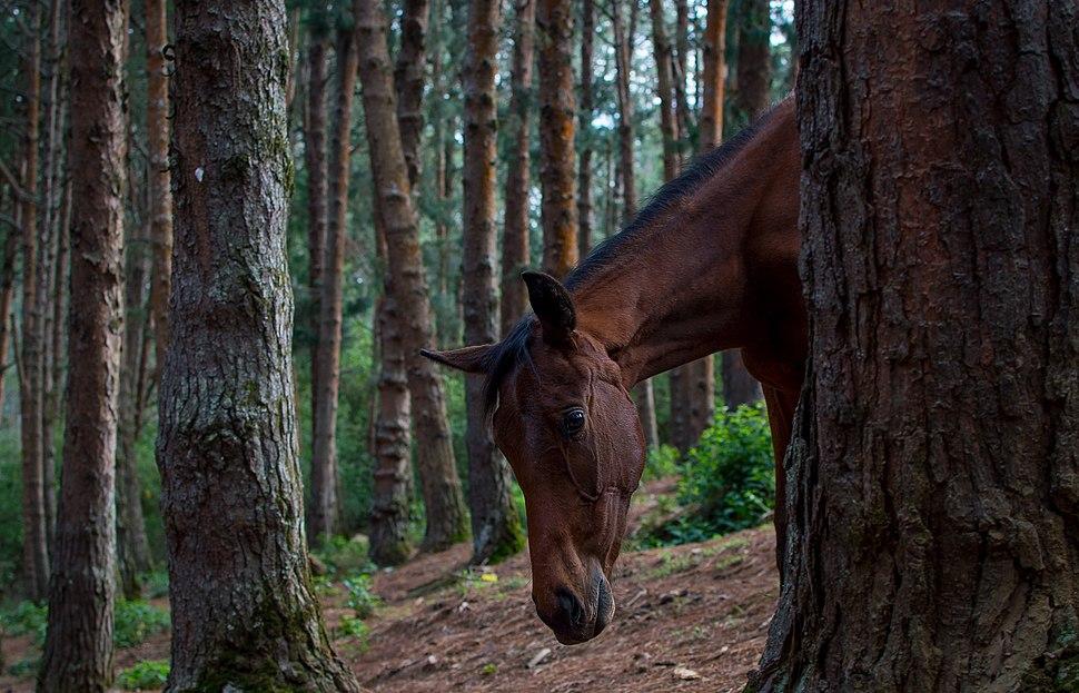 Wild Horse In Pine Forest
